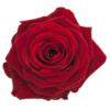 rode Valentijn rozen leiden
