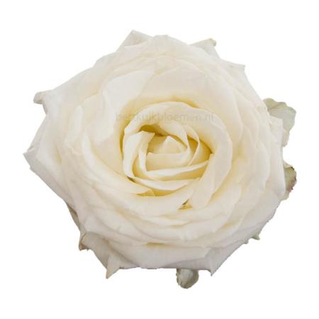 Valentijn, bos witte rozen lang per stuk te bestellen kopen Leiden