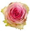 Valentijn bos roze rozen Ecuador Leiden